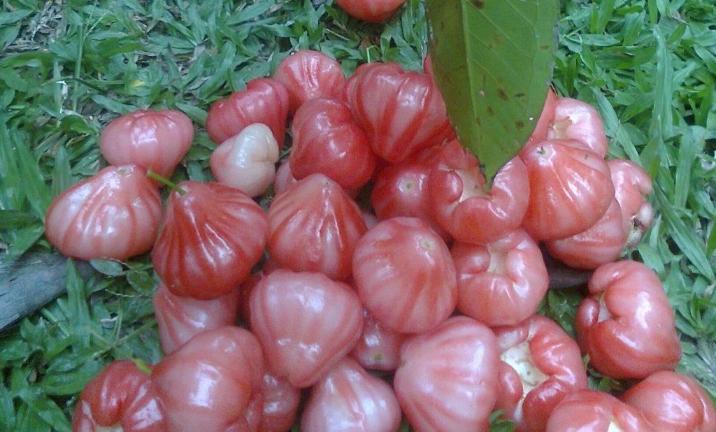 Jambo Rosa: 15 Benefícios, Informação nutricional, e malefícios