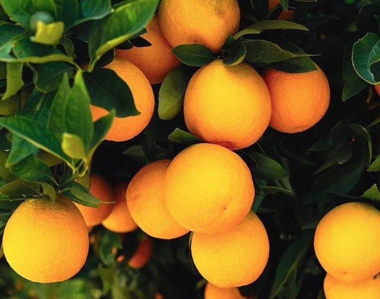 Laranja da Terra fruta: 10 benefícios, informação nutricional e malefícios