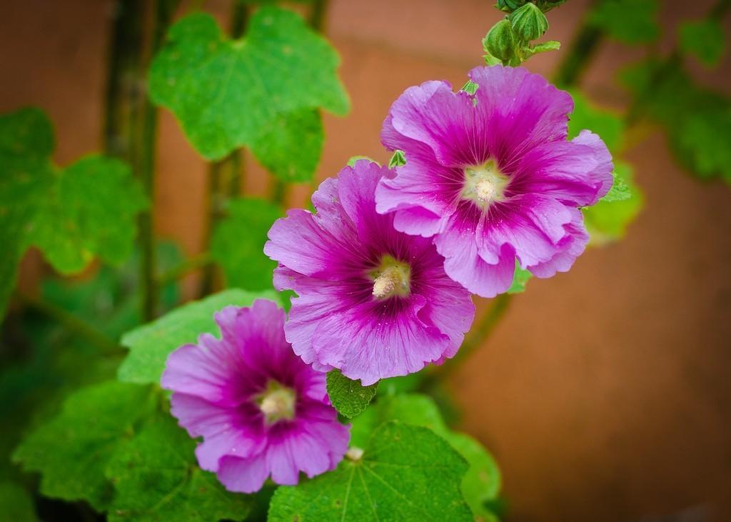 malva rosa flor