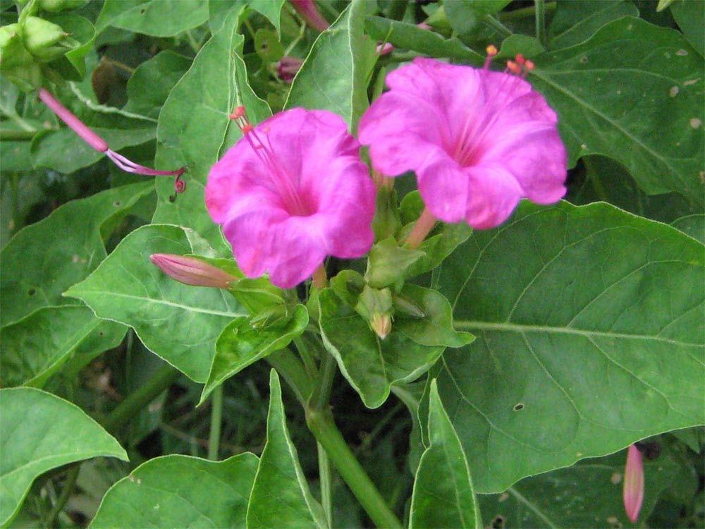 Planta Maravilha: Origem, benefícios, propriedades, como usar e malefícios