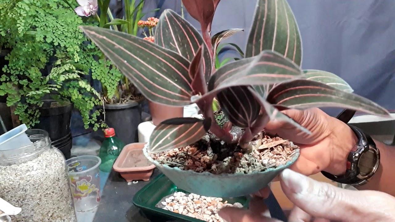 orquidea joia