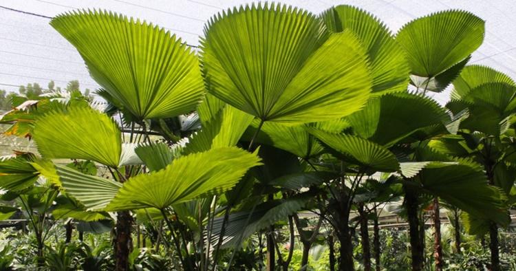 palmeira leque beneficios