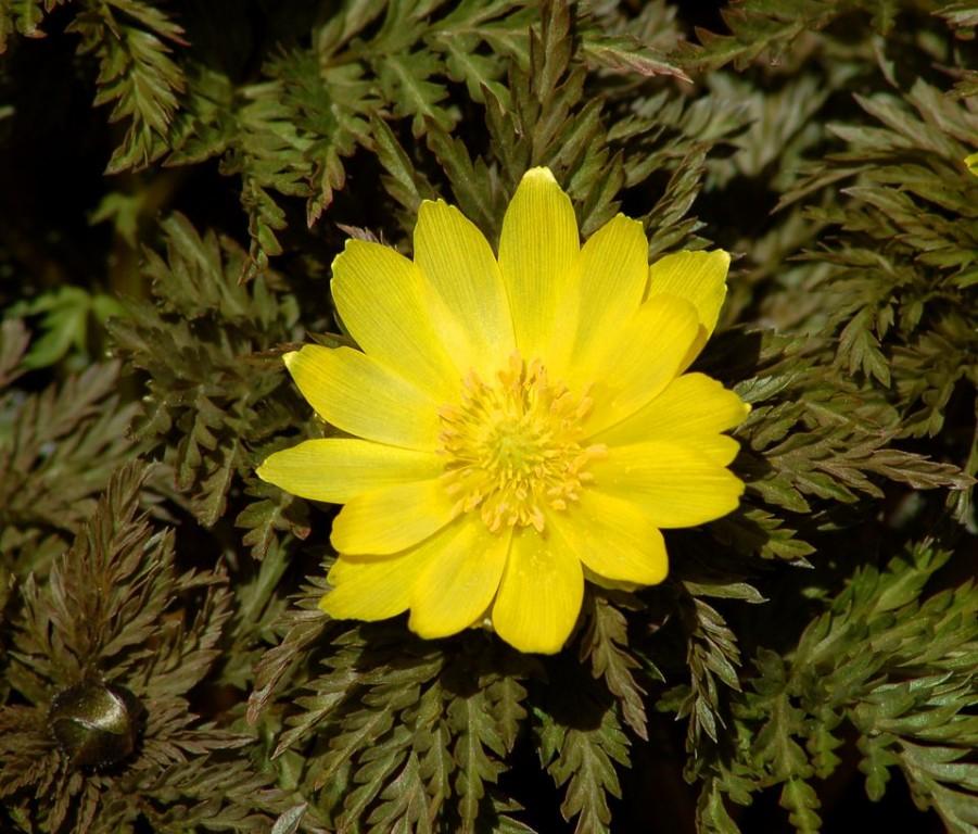 Planta Adonis