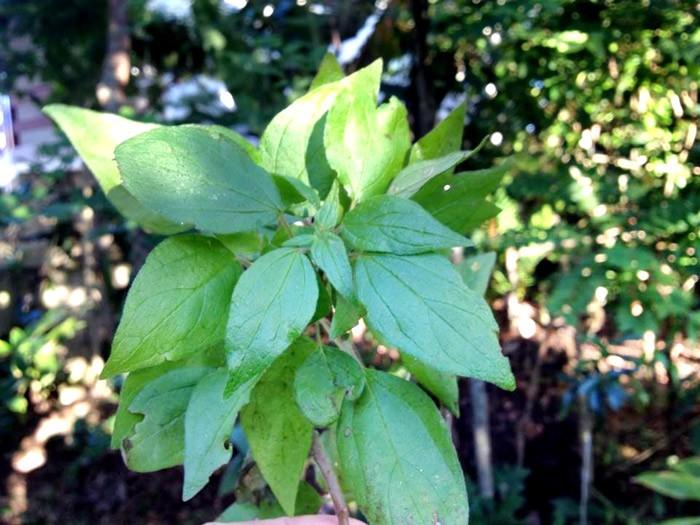 Planta Fura Parede é bom para quê? para que serve, benefícios e malefícios