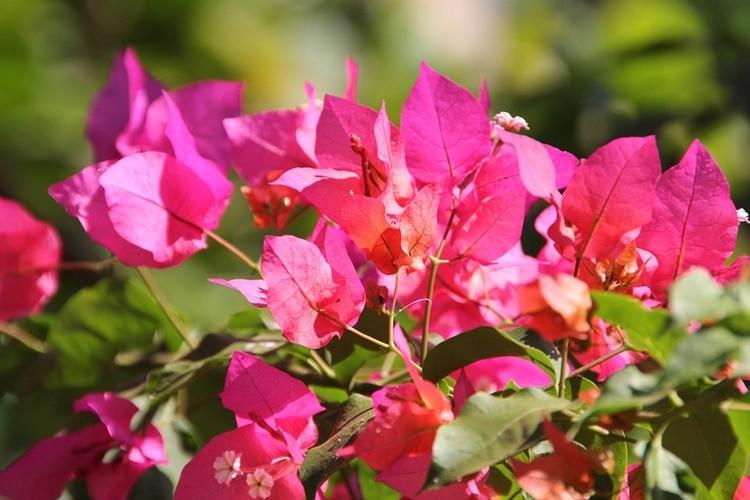 Primavera: Origem, Como Usar, Benefícios e Malefícios