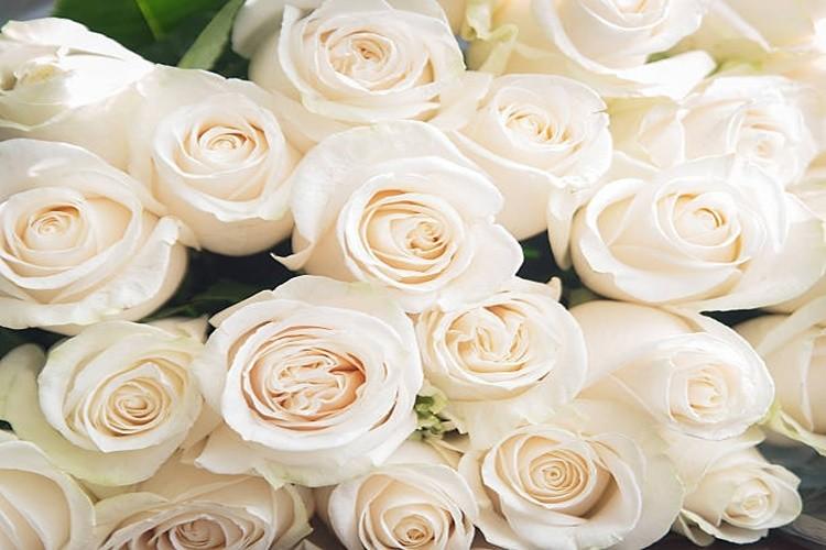 Rosa Branca é bom para quê? para que serve, benefícios e malefícios