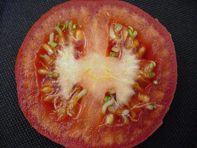 semente de tomate