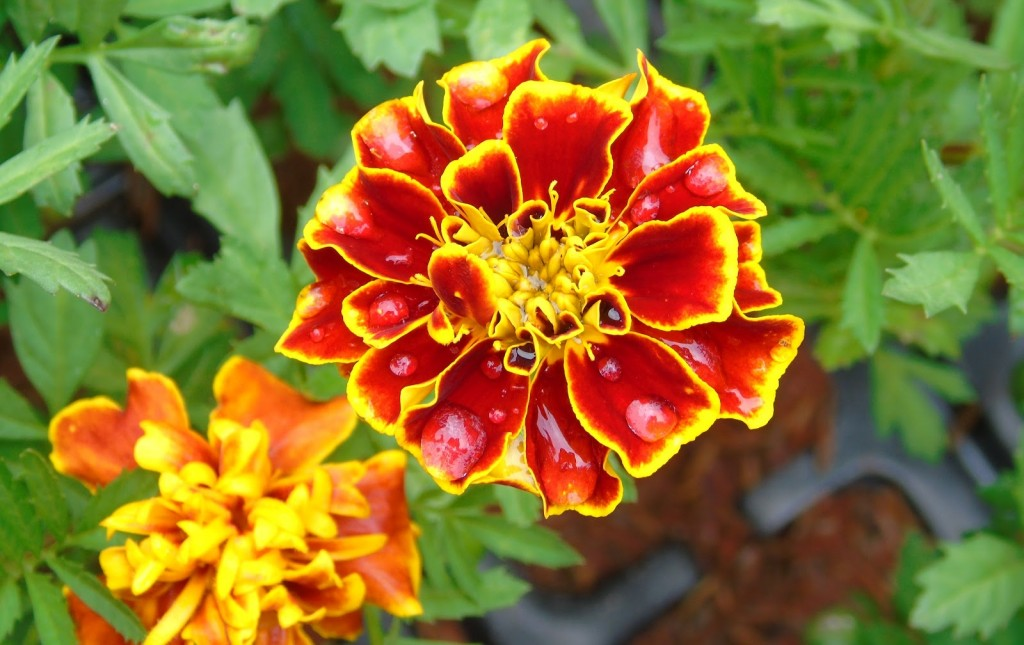 tagetes beneficios