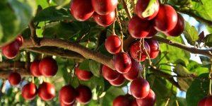 tomate arboreo