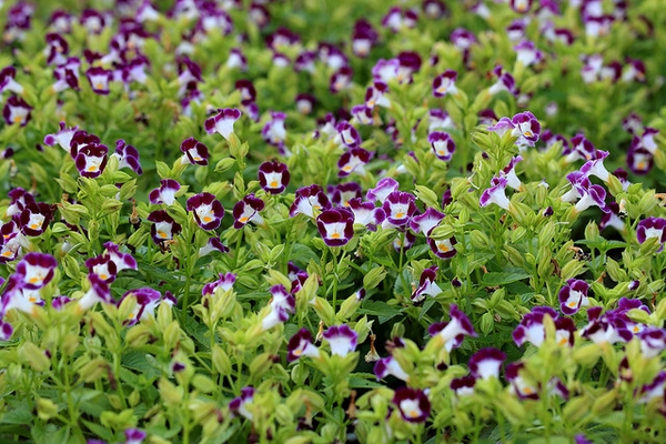 torenia beneficios