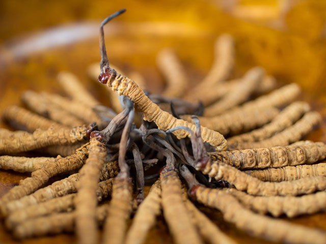 beneficios do Cordyceps